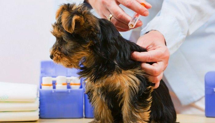 Vaccins que les chiens peuvent être allergiques à