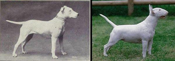 100 ans d`élevage ruiné ces 10 races de chien populaires