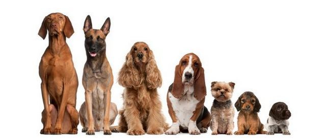 Comment 100 ans d`élevage ruinées dix chiens populaires