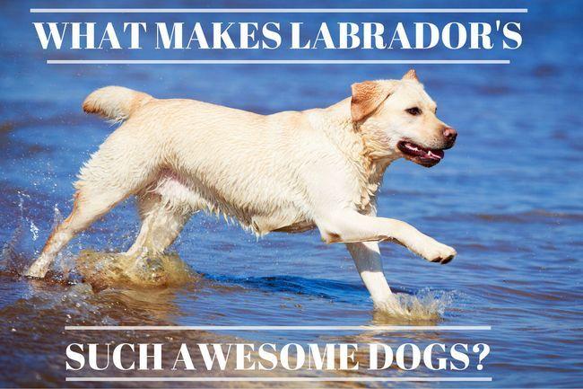 14 Raisons pour lesquelles labradors sont ces chiens impressionnants