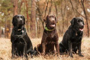 La plupart des races de chiens populaires