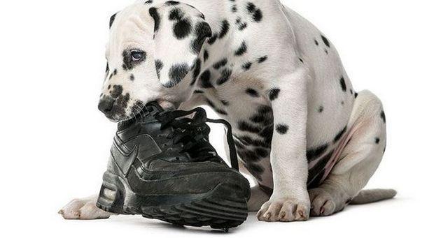 5 étapes pour arrêter la mastication de chien