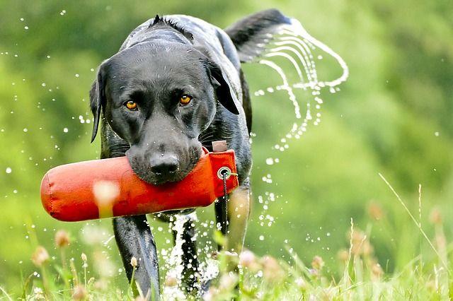 chien d`eau