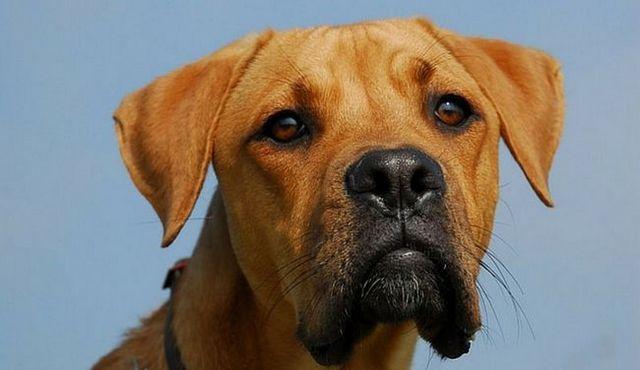 Un puissant-ish chien: un regard sur le berger allemand pitbull mix
