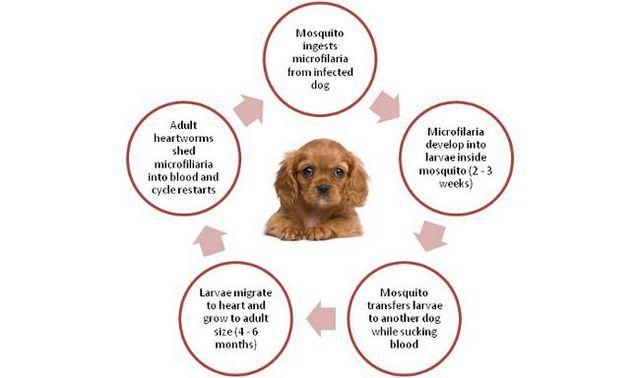A propos de heartworms chez les chiens
