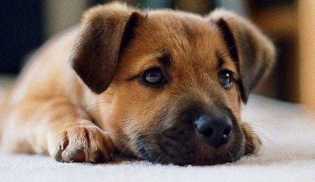 L`adoption d`un chiot: ce que vous devez savoir