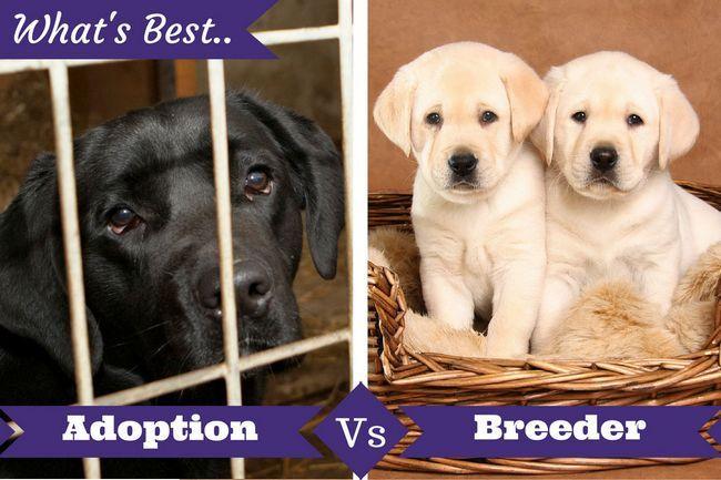 Adoption vs éleveur ci-dessous un laboratoire dans une cage et 2 chiots
