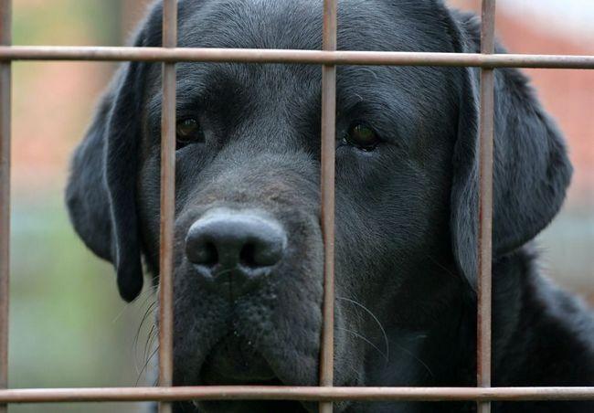 Un visage de labrador noir derrière un treillis clôture de fil