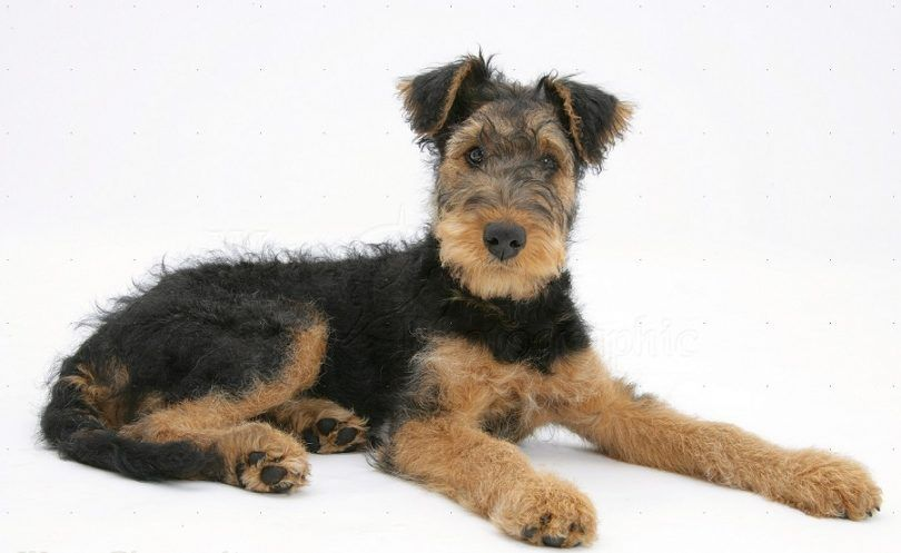 terriers Airedale