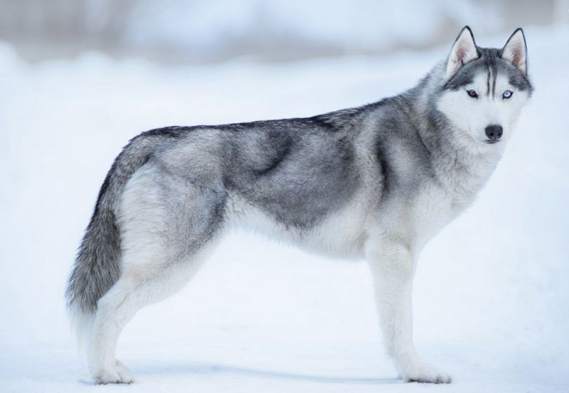 chien d`Alaska se reproduit: l`esprit du Nord dans votre compagnon canin