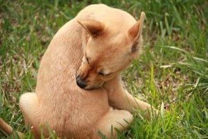 Allergies chez les chiens-communs types, les symptômes, les tests, la médecine et les remèdes maison