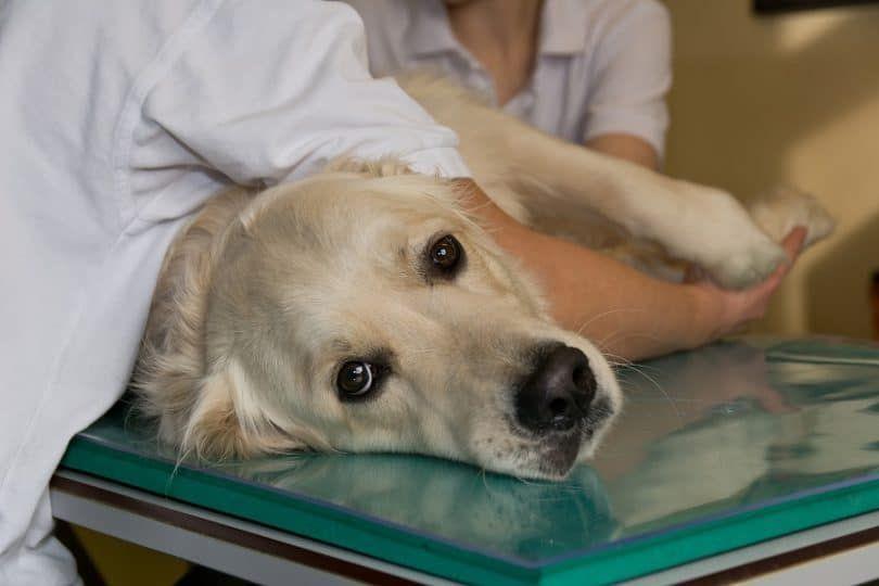 immunothérapie Dog