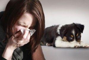 L`allergie aux chiens: symptômes, soulagement de la maison et les chiens pour les personnes souffrant d`allergies