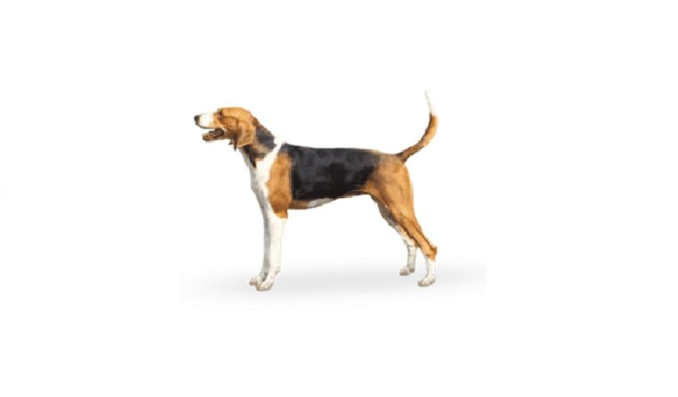 foxhound américain