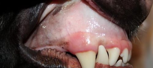 L`anémie chez les chiens, les causes, les symptômes, le traitement, les complications