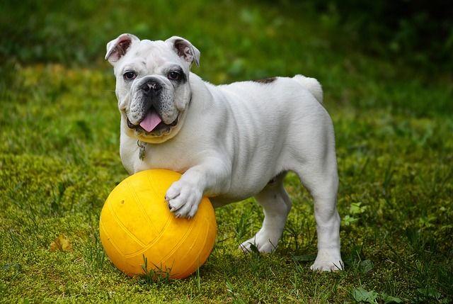 anglais-bulldog-562723_640
