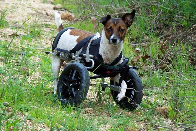 L`arthrite chez les chiens: causes, les signes et le diagnostic
