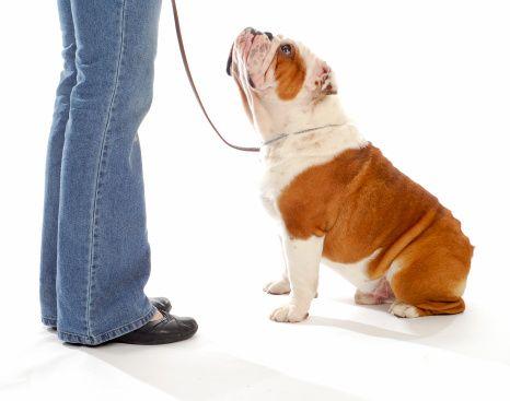Demandez au formateur: comment puis-je devenir un dresseur de chiens certifié, aussi?