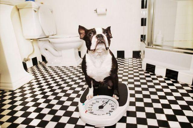 Demandez au formateur: comment puis-je aider mon chien à perdre du poids?