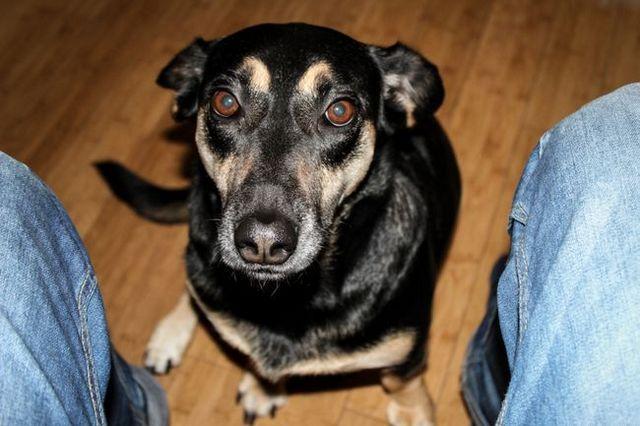 Demandez au formateur: comment empêcher votre chien de mendier de la nourriture