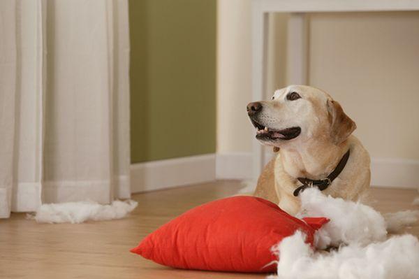Demandez à l`entraîneur: mon chien détruit tout ce qu`il peut obtenir ses pattes sur!