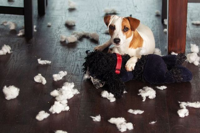 Demandez à l`entraîneur: mon chien détruit tout quand il est seul à la maison!
