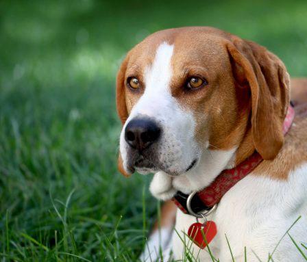 walkerhound
