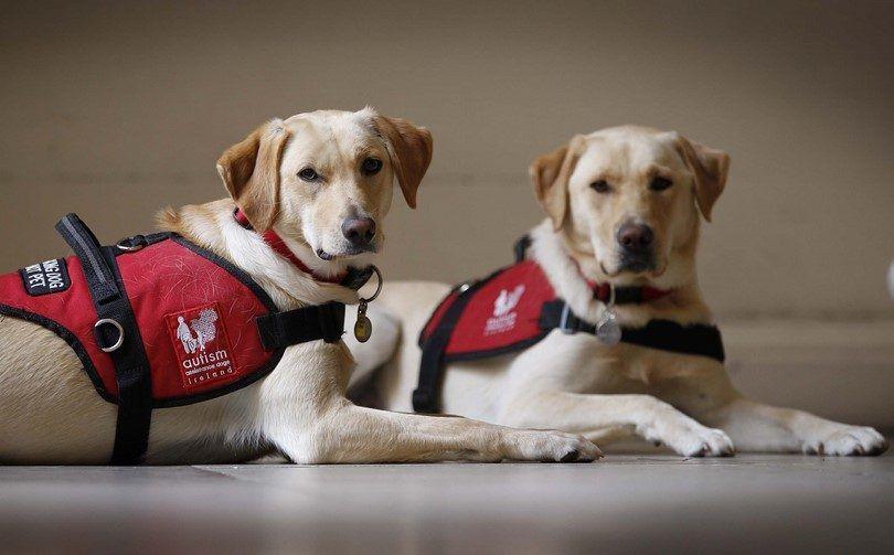 Les chiens d`assistance: chiens formés pour donner un coup de patte d`aide dans le besoin