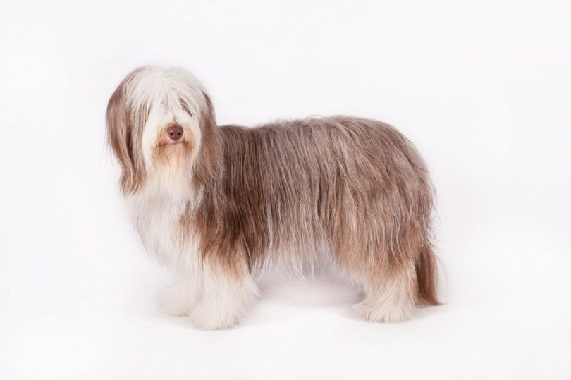 Bearded Collie race de chien
