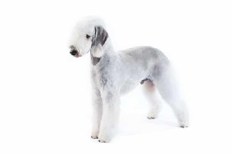 race de chien Bedlington Terrier