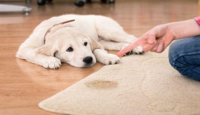 bandes Belly pour les chiens: garder les dégâts à un minimum