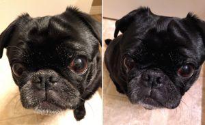 Avantages de l`huile de noix de coco pour la peau de chien