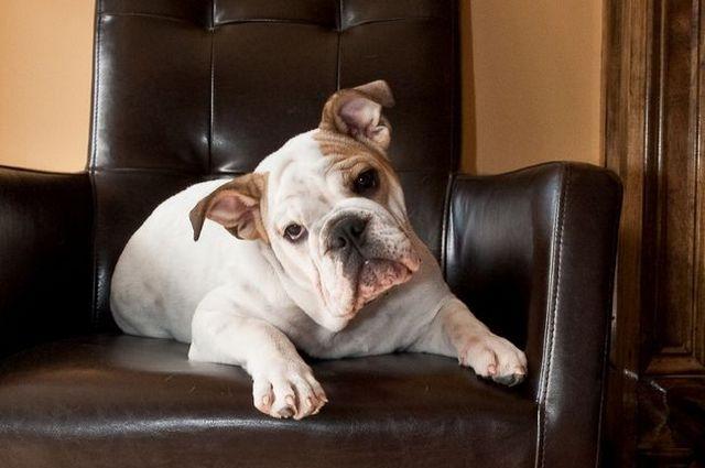 bulldog tête alimentaire