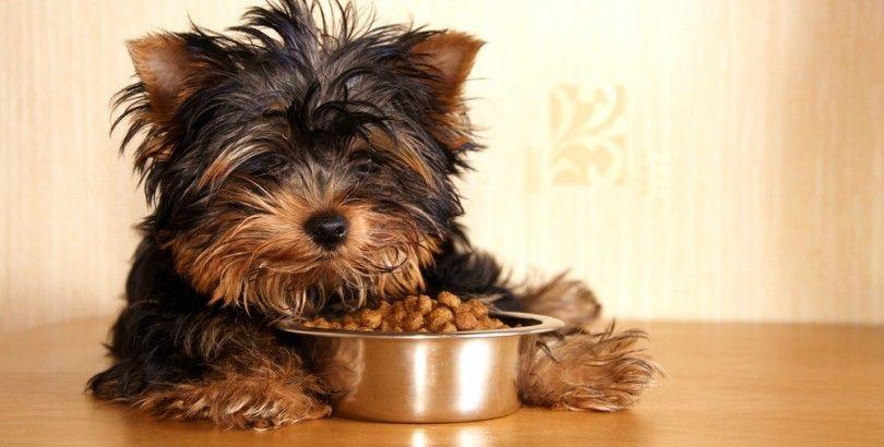 Meilleur nourriture pour chien pour les petits chiens: conseils sur la petite race de chien régime alimentaire