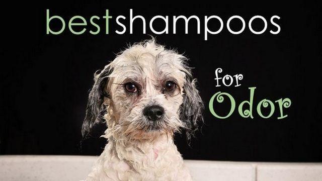 Meilleur shampooing pour chien à l`odeur: écraser la puanteur!