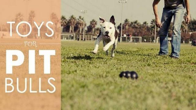 Les meilleurs jouets pour chiens pour les pit-bulls: 5 jouets solides que capable de résister à la punition de votre fosse