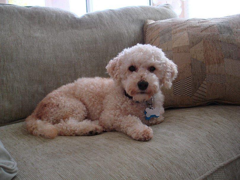 Les meilleurs chiens pour les appartements: top 20 spécimens canins qui correspondent à
