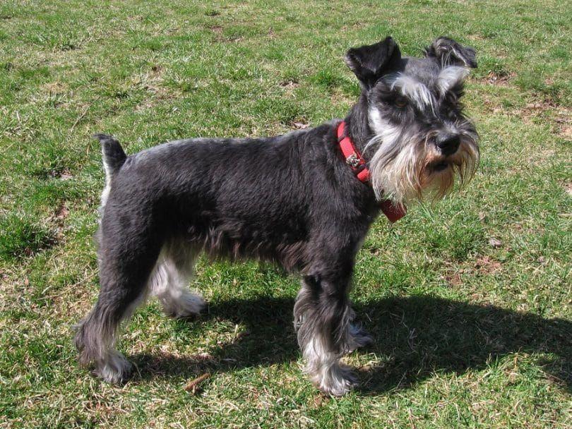 Quelle est la race de chien est bon pour moi: le choix entre les groupes de race de chien 10