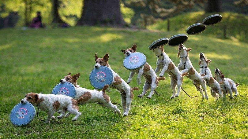 Les meilleurs chiens de Frisbee: top 6 races qui aiment jouer au frisbee