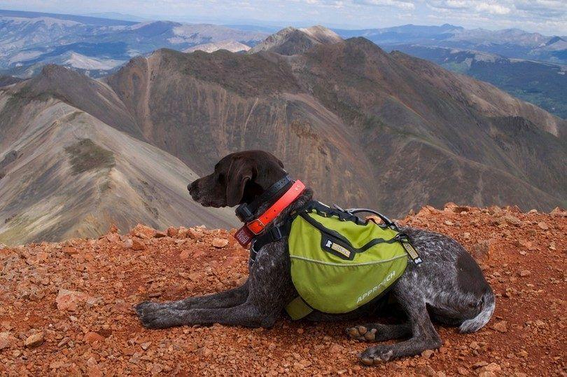 Les meilleurs chiens de randonnée: les meilleures races pour les randonneurs et les personnes actives