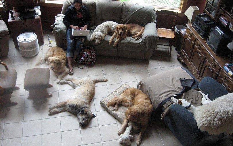 Les meilleurs chiens de la maison: les meilleurs compagnons canins pour vous et votre ménage