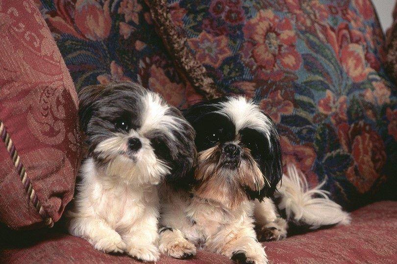 Les meilleurs chiens à l`intérieur: top races qui adaptent bien aux petits espaces de vie