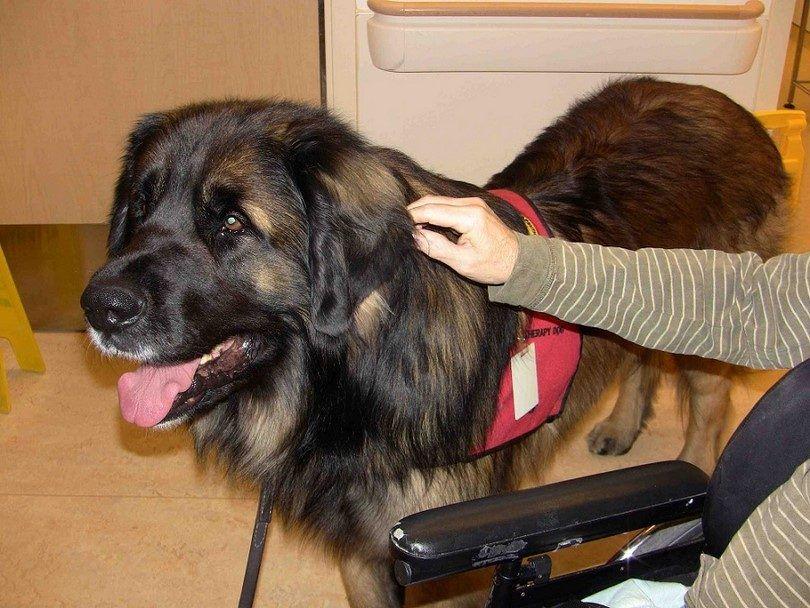 Big chien de thérapie