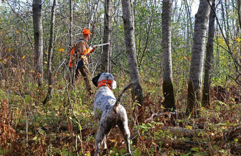 La chasse aux oiseaux de races: votre meilleure aide pendant la saison de chasse