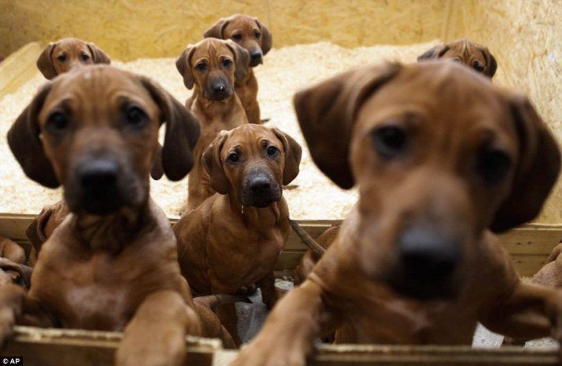 Le contrôle des naissances pour les chiens: épargner votre copain les difficultés de la parentalité