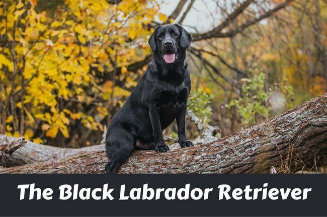 Labrador retriever noir assis sur la branche d`un grand arbre regardant la caméra