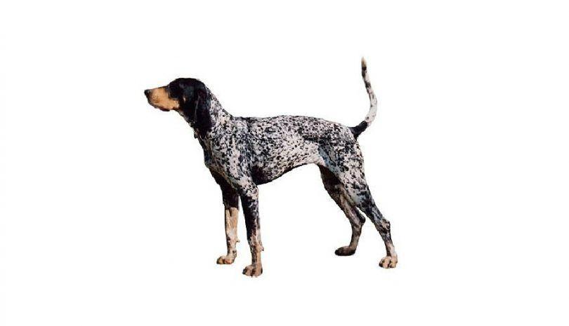 coonhound Bluetick