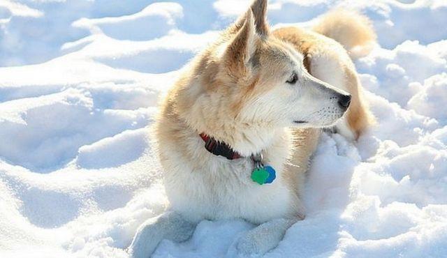 Audacieux et beau: un regard sur le golden retriever mix husky