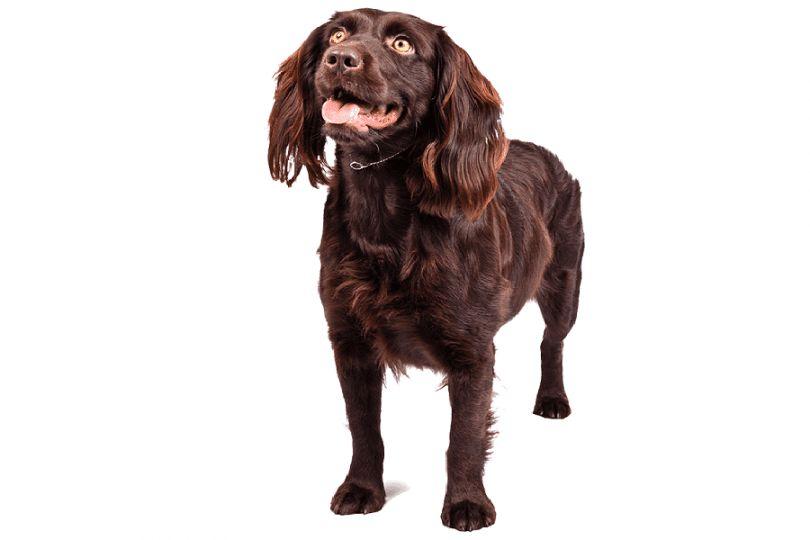 race de chien Boykin Spaniel