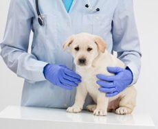 Un chiot labrador étant détenu par un vétérinaire en bleu